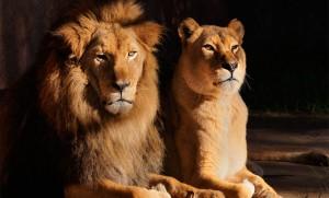 spectacle de lions